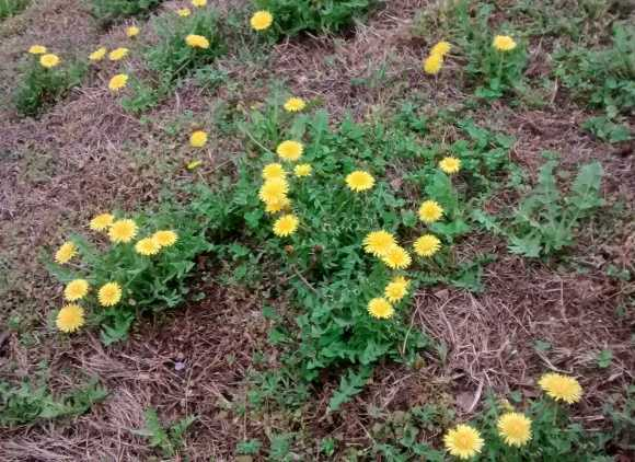 Dandelion cluster.jpg